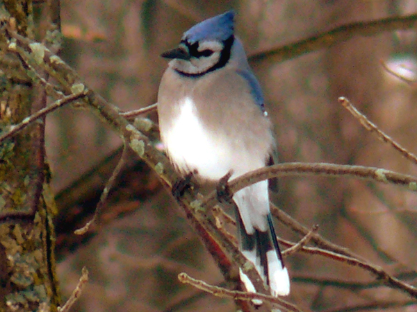 SNAPSHOT - This Blue Jay waited for his friends to leave the feeder