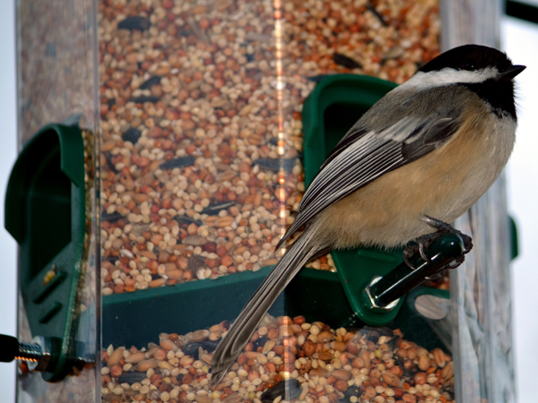 SNAPSHOT - This Chickadee was the first visitor to our new feeder