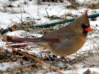 SNAPSHOT - A female cardinal in our backyard
