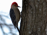 SNAPSHOT - Red-Bellied Woodpecker comes for a visit