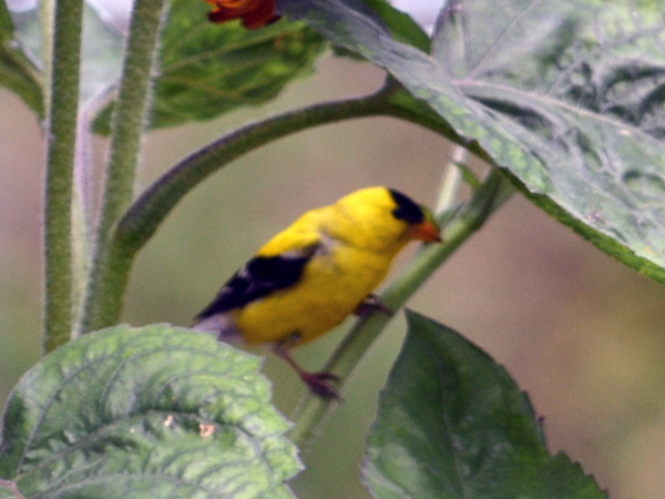 SNAPSHOT - American Goldfinch in the garden