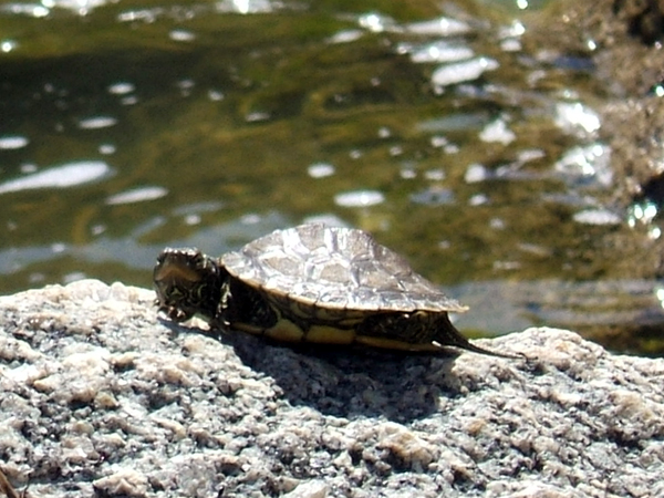 SNAPSHOT - Turtles sunning on Lake St. Clair