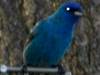 SNAPSHOT - Indigo Bunting at our feeder