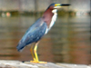 SNAPSHOT - Green Heron on the dock