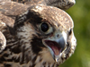 Hawkfest - Stop and Note the Wildlife