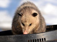 SNAPSHOT - Playing possum in Stoney Point