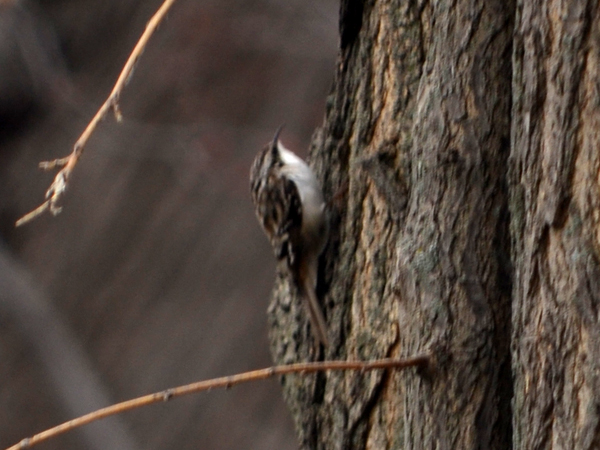 SNAPSHOT - Brown Creeper near Lake St. Clair
