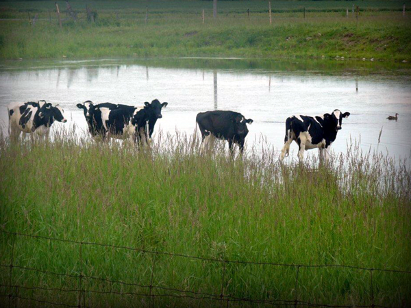 These cows know how to beat the heat!