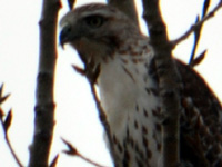 SNAPSHOT - Hawk spotted during our walk on Ganatchio Trail